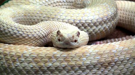 endangered species : Rattlesnake moving tail, extremly close up video Stock Footage