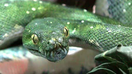 pullu : Snake green mamba extremly close up