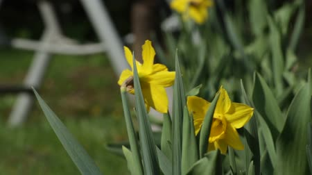 narciso : Daffodil - Garden chair Stock Footage