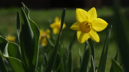 narciso : Daffodil - sharpness shift