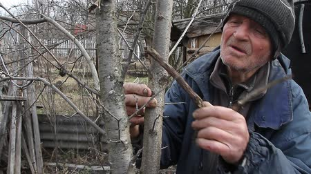 кемпинг : A very old man inspects garden trees in the spring before flowering removes extra branches preparing for the new season