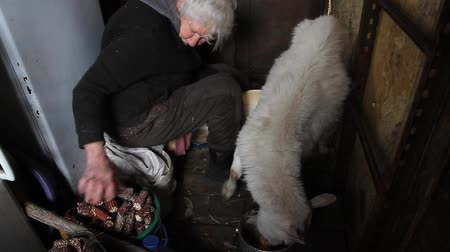 goatling : An old woman milking a goat healthy and natural diet in village