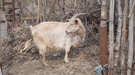 прижиматься : Adult light goat with long hair and curved horns chewing hay against the background of wattle