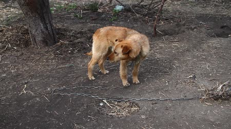 прикован : Dog on a chain, the dog next to the booth, the dog in the yard. Guard dog on a chain in the village.