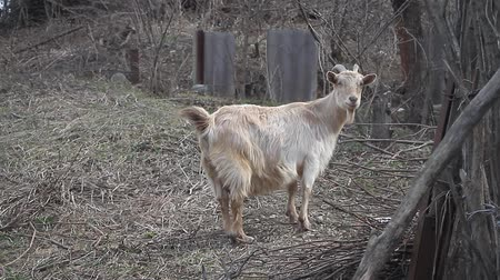 прижиматься : Adult light goat with long hair and curved horns pokes on the background of wattle Стоковые видеозаписи