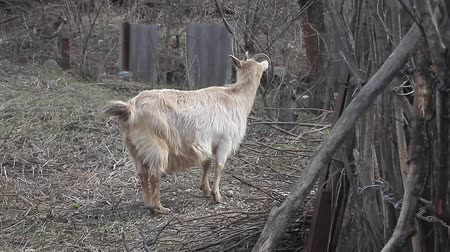 прижиматься : Adult light goat with long hair and curved horns stands on the background of wattle