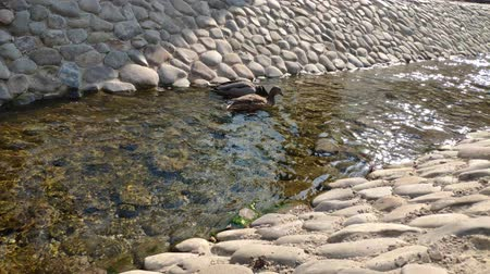 vízimadarak : Two ducks male and female swim and dive through a channel in the park on a sunny day.