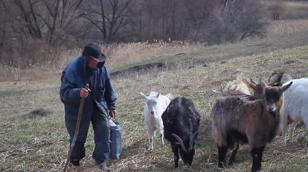 subsistence : An old man in messy clothes comes from the pasture to his home with a flock of his own goats against the backdrop of withered nature.