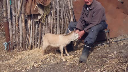 ümitsizlik : A very old sick man sits on a stool holding a goat in his hands, playing and feeding. Life in the village. Concept of natural economy.