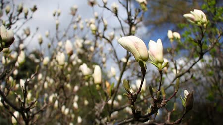 lélegzetelállító : Closeup of a blooming white magnolia in a botanical garden against a blue sky, concept of beautiful nature Stock mozgókép