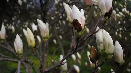 magnólia növény : Closeup of a blooming white magnolia in a botanical garden against a blue sky, concept of beautiful nature Stock mozgókép