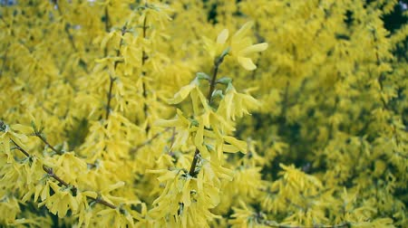 blurring : Closeup of blossoming forsythia branch in spring, background or concept