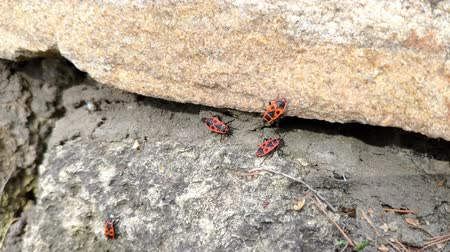 mal cheiroso : Close-up of spring red bugs Pyrrhocoris apterus sitting on a stone fence in spring on a sunny day, selective focus Stock Footage
