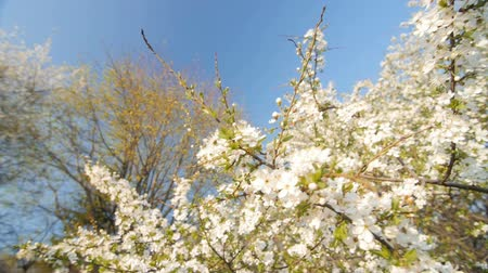 śliwka : Blossom plum tree by spring. Slow motion, Wide angle low point of view. Wideo