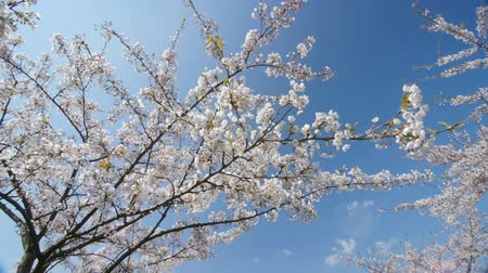 blooms : Under the cherry blossoms, slow motion, dolly in. Stock Footage