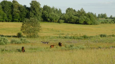 otlama : Horses in Green Field. Lithuania. Long shot Stok Video