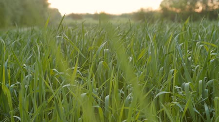 otruby : Cultivated field of young green wheat in the morning. Dolly from right.