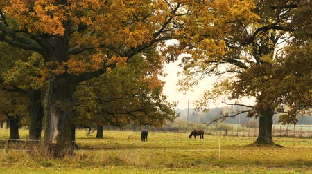 dub : Two horses taking rest under the oak tree. Autumn,day Dostupné videozáznamy