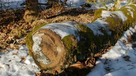 softwood forest : moss covered oak log in the forest, winter Stock Footage