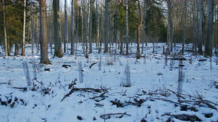 recentemente : recently planted small trees of pines and fir-trees, in a winter season. Camera pan.