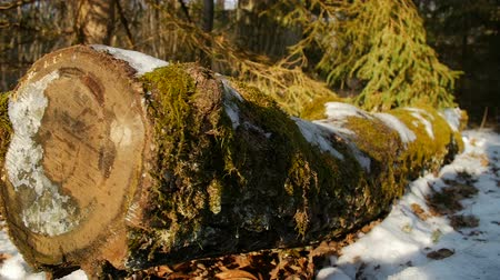 softwood forest : moss covered oak log in the forest, winter, slow motion