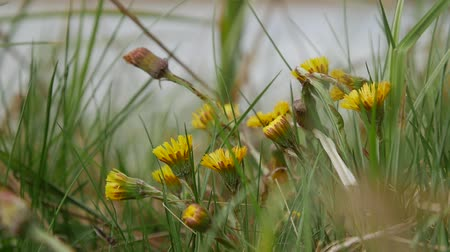 angiospermas : Yellows flowers coltsfoot grows and blossom with the arrival of the first spring heat. Natural background Stock Footage