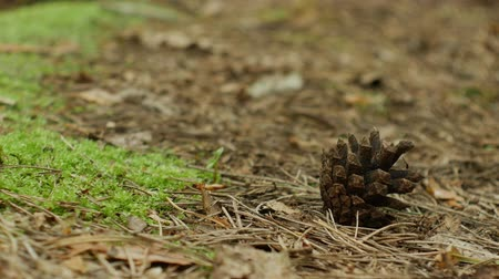 farag : Close up of a one fallen pine cone in a forest road Stock mozgókép