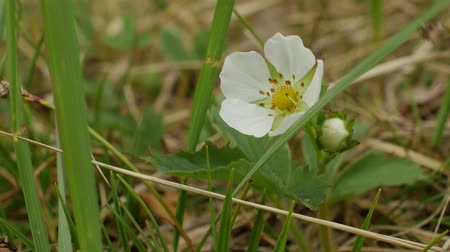 wildstrawberry : The flower of wild strawberry on a beautiful background blur. Blooming wild strawberry in the orchard.