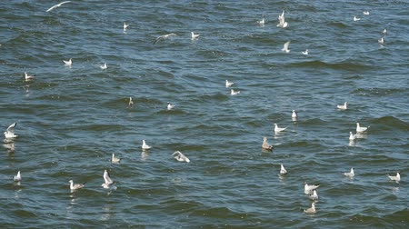 baltské moře : Seagulls flying and swimming in the Baltic sea, slow motion. Dostupné videozáznamy