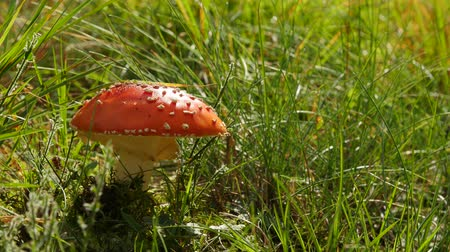pettyes : Amanita poisonous red mushroom in the grass, close up.