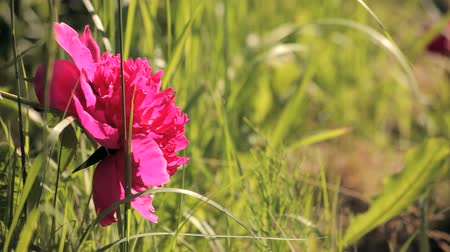 peônia : Bright pink peony in the grass