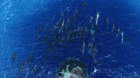 Hundreds of dolphins surfing in front of the ship, unforgettable image Stok Video