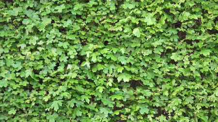 hera : 4K Ivy Wall on Wind. Green Grass Background.