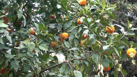 mandarina : Ramas de mandarín con frutos maduros de naranja en el viento. Video HD Archivo de Video