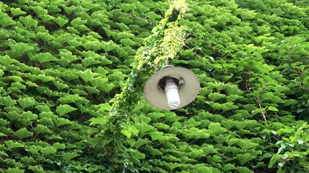 hera : Lantern and a wall covered with dense green ivy leaves. HD video