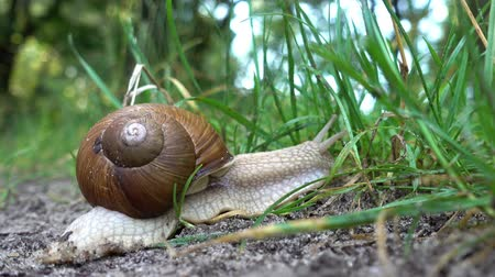 měkkýš : Snail in the sink crawls along the ground into the green grass. Close-up. HD video