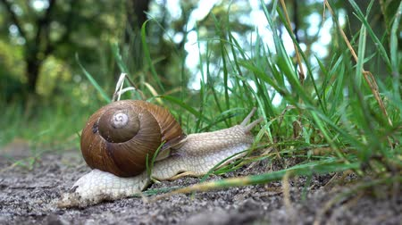 měkkýš : 4K view of snail in the sink crawls along the ground into the green grass. Close-up. Dostupné videozáznamy