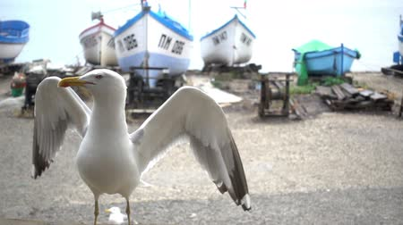 улов : Slow motion of a gull on the shore in the background of boats.