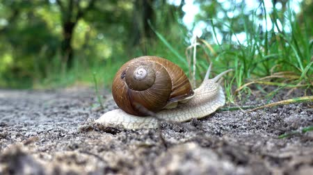 helezon : 4K view of snail in the sink crawls along the ground into the green grass. Close-up. Stok Video