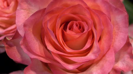 Beautiful pink rose flower as background. HD video Stock Footage