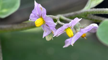 Purple Eggplant flowers in a garden Стоковые видеозаписи