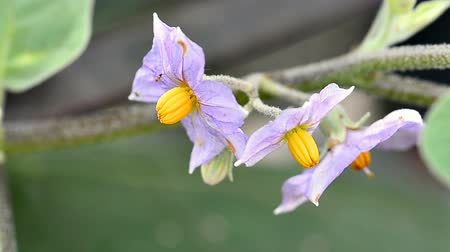 Purple Eggplant flowers in a garden Stok Video
