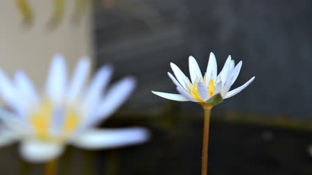 lilyum : white lotus