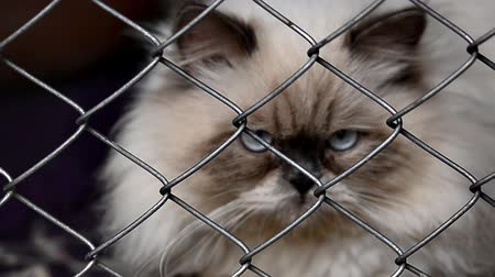 himalayan cat Stok Video