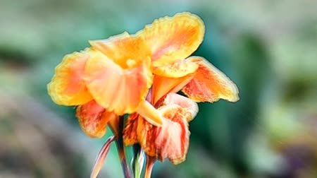 canna flower Stok Video