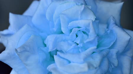 blooming time lapse : Blue rose
