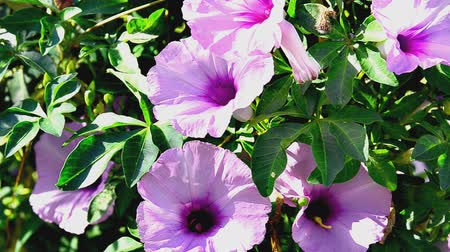 bermudas : Morning Glory Stock Footage