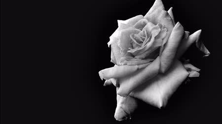Rose in black and white tone