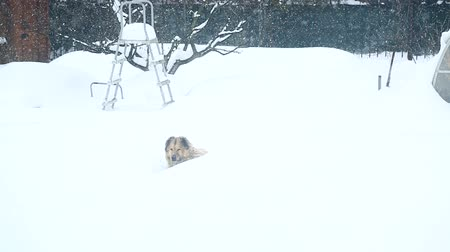 gnaw : A large guard dog sleeps in the snow Stock Footage