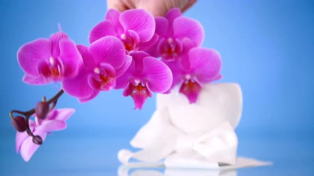 phalaenopsis : beautiful Phalaenopsis orchid flowers